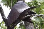 Mississippi Kite