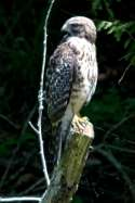 Red-shouldered Hawk - Juvenile plumage