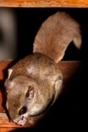 Southern Flying Squirrel