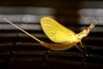 Golden Mayfly