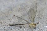 Greenish Antlion