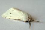 Agreeable Tiger Moth