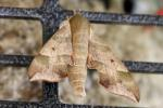 Virginia Creeper Sphinx Moth