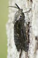 Carpenterworm Moth