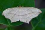 Cross-lined Wave Moth