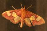 Distinguished Colomychus Moth