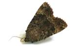 Copper Underwing Moth