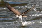 Osprey with White Bass