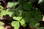 Windowbox Woodsorrel