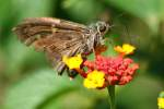 Long-tailed Skipper Butterfly