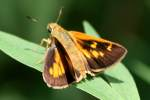 Yehl Skipper Butterfly