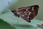 Lace-winged Roadside Skipper Butterfly