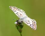 Common/White Checkered-Skipper Butterfly