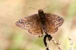 Horaces Duskywing Butterfly