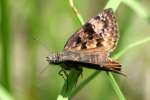 Juvenals Duskywing Butterfly