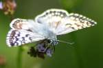 Common/White Checkered Skipper Butterfly