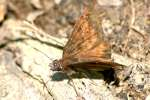Northern Cloudywing Butterfly