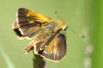 Crossline Skipper Butterfly