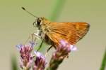 Southern Broken-Dash Skipper Butterfly