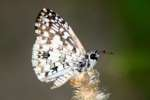 Tropical Checkered-Skipper Butterfly
