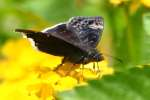 Funeral Duskywing Butterfly