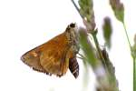 Northern Borken-dash Skipper Butterfly