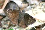 Confused Cloudywing Butterfly