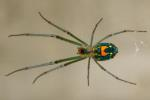 Mabel Orchard Spider