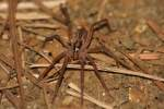 Dotted Wolf Spider