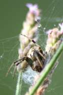 Arabesque Orbweaver
