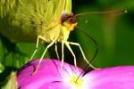 Cloudless Sulphur Butterfly