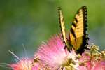 Eastern Tiger Swallowtail Butterfly