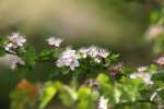 Parsley Hawthorn
