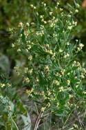 Stinkweed / Stinking Camphorweed