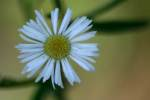 Plains Fleabane