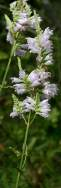 Obedient Plant / False Dragonhead