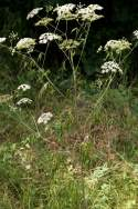 Spotted Water Hemlock