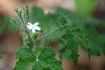 Texas Bullnettle