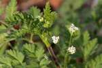 Hairyfruit Chervil