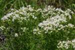 Narrow-leaved Mountain-mint