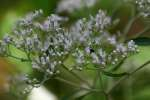 Late-flowering Boneset