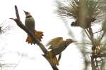 Northern Flicker - Courtship and Mating