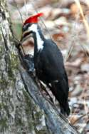 Pileated Woodpeckerers