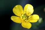 Swamp / Marsh Buttercup