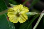 Trailing Loosestrife