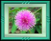 Sensitive Briar Flower